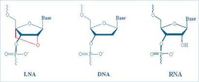 Comparison of LNA, DNA, and RNA.