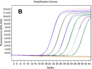 Amplification curve of a Universal ProbeLibrary assay with standard primer (200 nM) and probe (100 nM) concentrations
