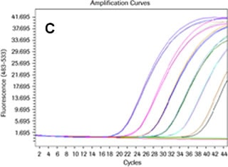 Amplification curve of a Universal ProbeLibrary assay with elevated primer (900 nM) and probe (250 nM) concentrations