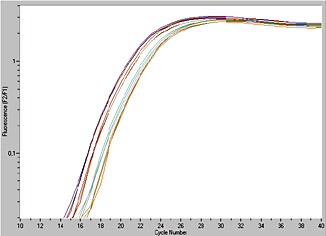 MagNA Pure LC 2.0 Instrument, reproducibility of yields and scalability of mRNA isolations. Four bundles of curves, each representing three identical isolations can be clearly distinguished.From left to right, the bundles show the results of the analysis of mRNA isolations from WBCs recovered from different amounts of human whole blood
