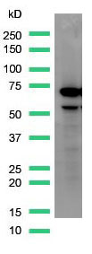 Western Blot analysis of HepG2 cell lysate with AFP antibody