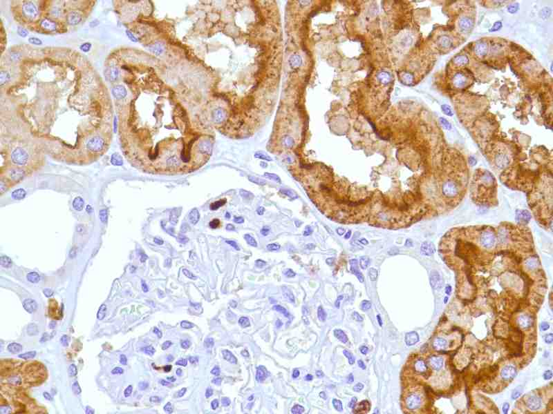 Human Kidney stained with anti-CD15 antibody