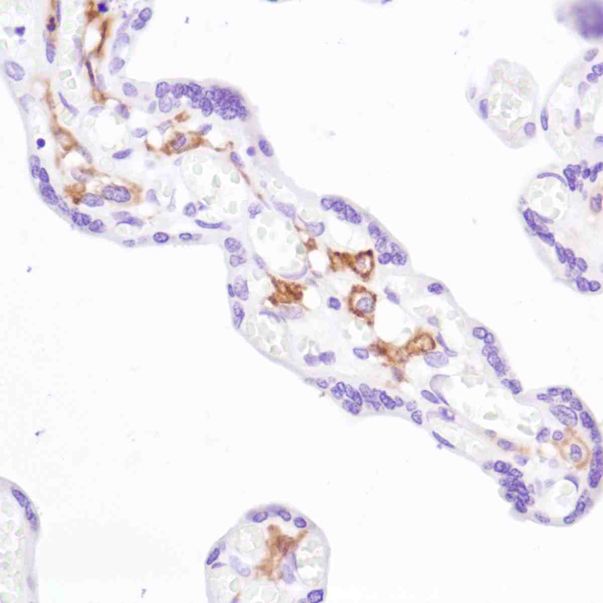 Human Placenta stained with anti-CD16a antibody
