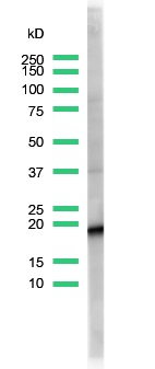 Western Blot analysis of of rabbit anti-CD3 (SP7) antibody