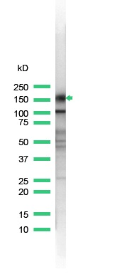 Western Blot of of rabbit anti-CD43 (SP55) antibody