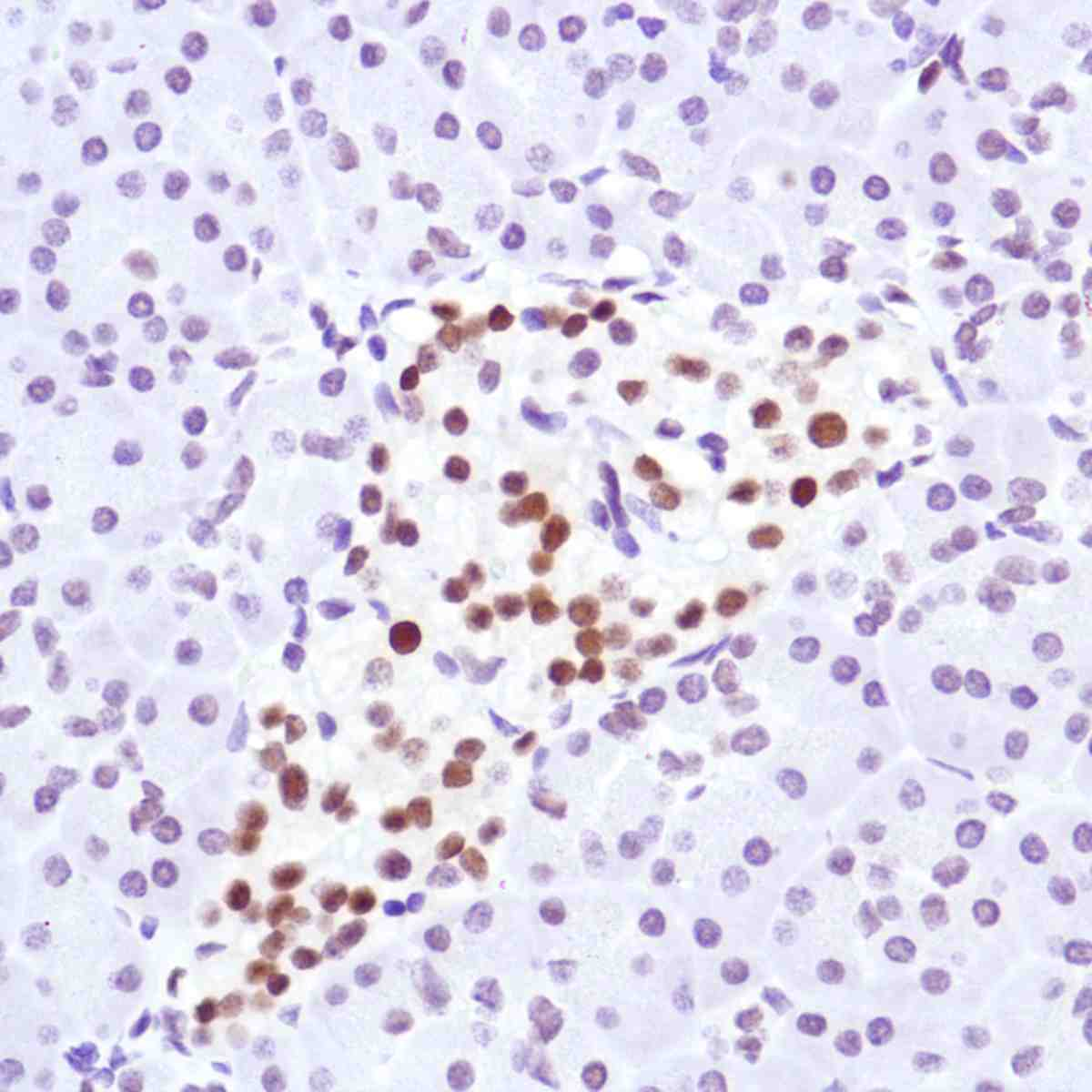 Human Pancreas stained with anti-Cyclin D3 antibody