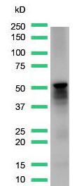 Western Blot analysis of human skeletal muscle with desmin antibody