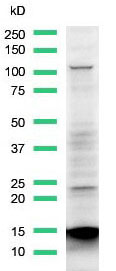Western Blot analysis of Calu3 cell lysate