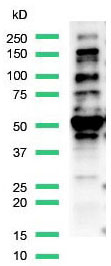 Western Blot analysis of MCF7 cell lysate