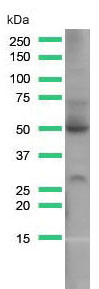 Western Blot analysis of HepG2 cell lysate with GLUT-1 antibody