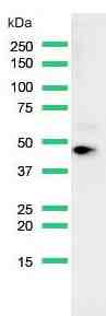 Western Blot analysis of HeLa cell lysate with anti-MAGE-A1 antibody