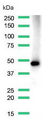 Western Blot analysis of A431 cell lysate with anti-MAGE-A1 antibody