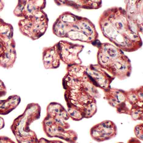 Human Placenta stained with anti-PI3K p85 antibody
