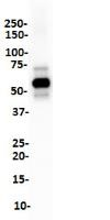 Western Blot analysis of A375 cell lysate with SOX-10 antibody