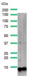 Western Blot analysis of rabbit anti-TCL1A (SP248) antibody