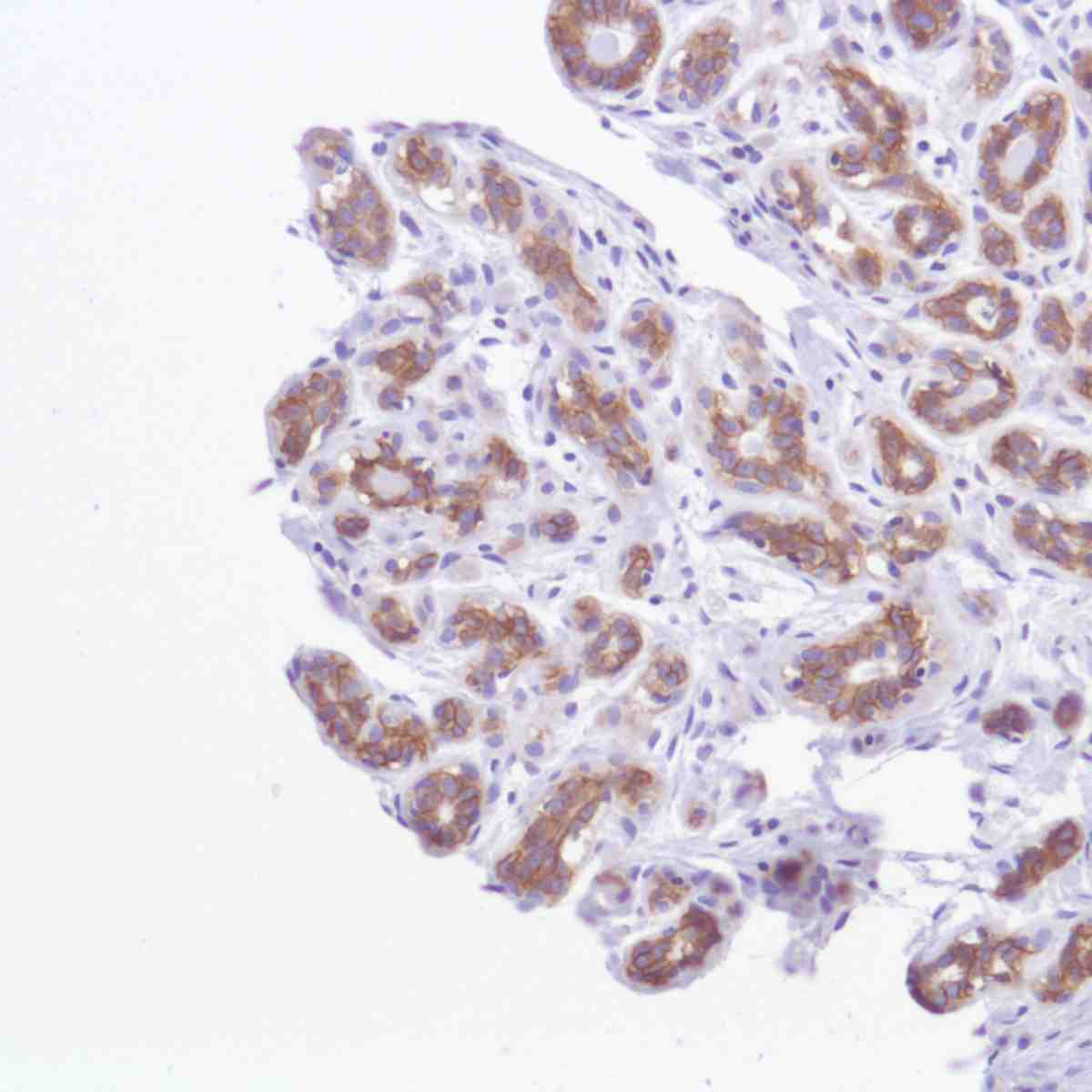 Human Breast stained with anti-TROP-2 antibody
