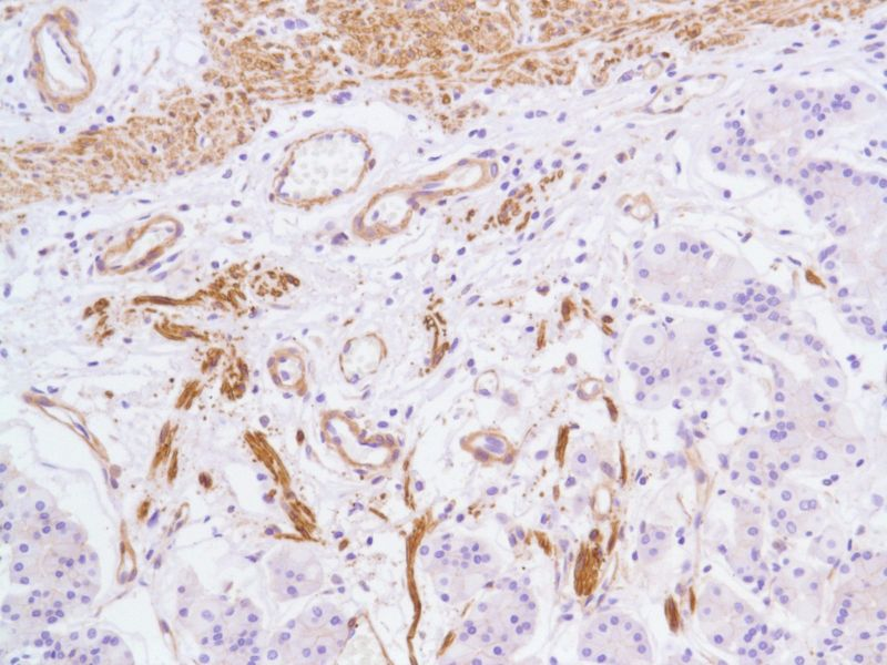 Human Stomach stained with anti-Vinculin antibody