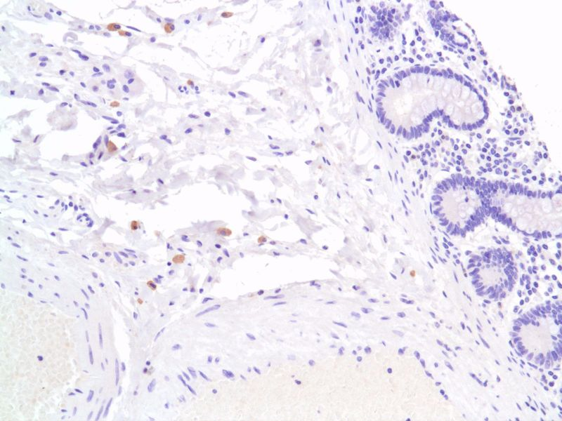 Human Colon stained with anti-F4-80 antibody