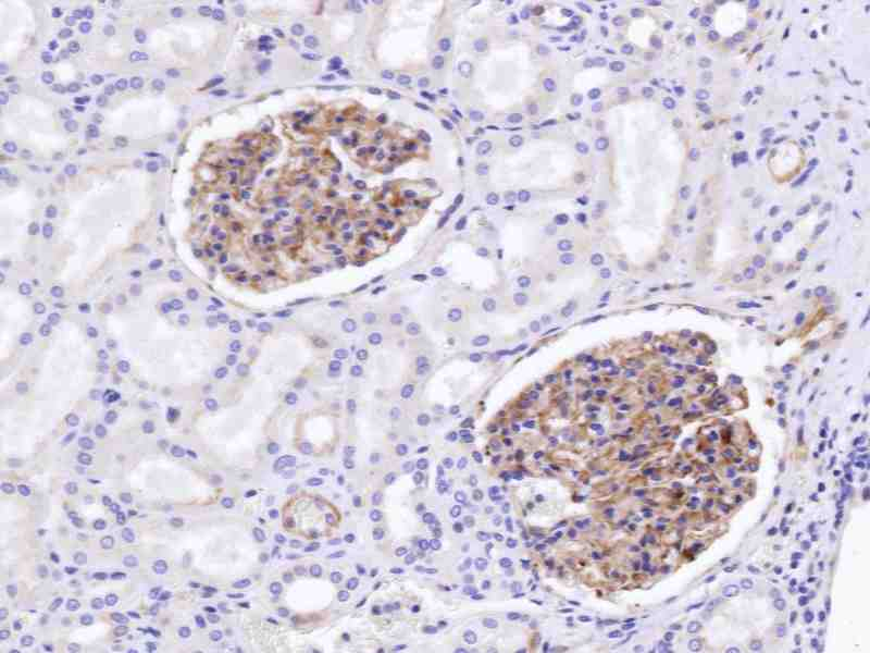 Human Kidney stained with anti-FLK-1 (mouse) antibody